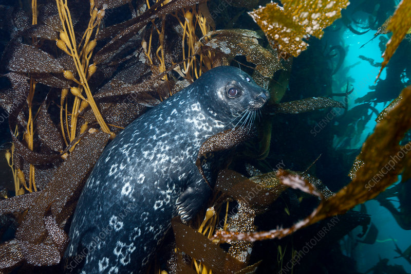 Pacific Harbour Seal