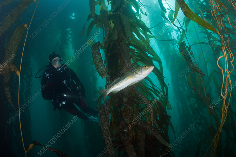 Scuba Diver and Kelp Bass