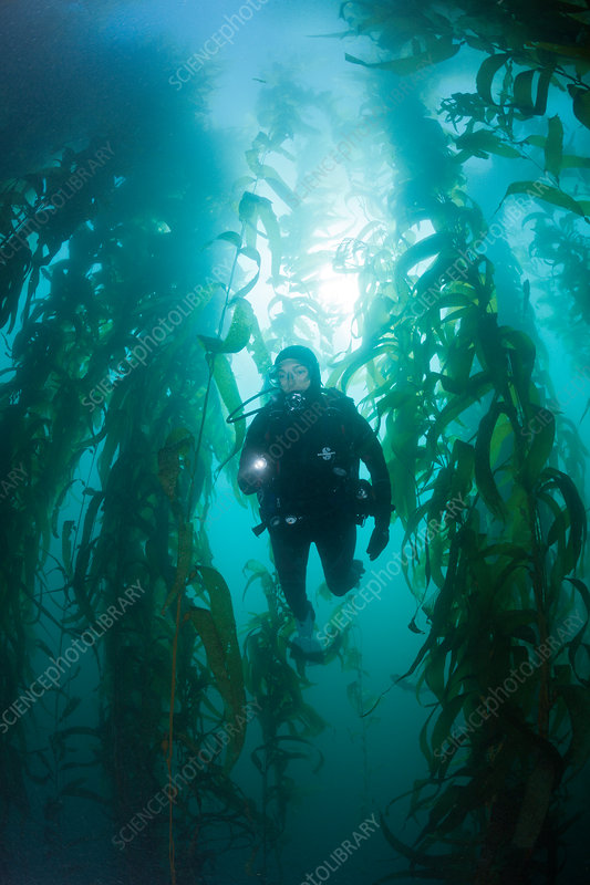 Scuba Diving in Kelp Forest