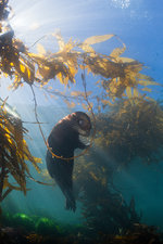 California Sea Lion in Kelp Forest