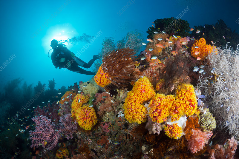 Scuba Diver and coloured Coral Reef