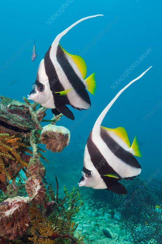Pair of Longfin Bannerfish