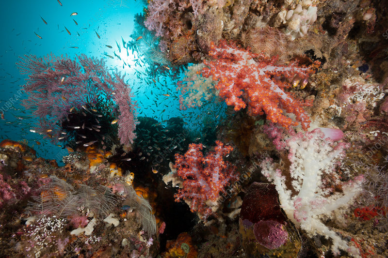Soft Corals in Coral Reef