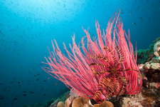 Red Whip Coral
