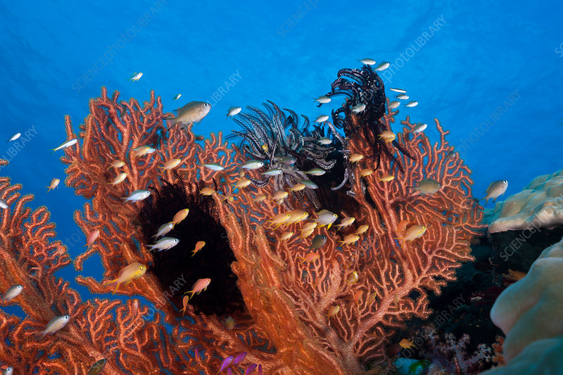 Gorgonian Fan and Coralfishes