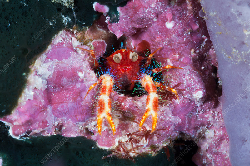 Coloured Squat Lobster