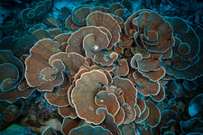 Coral Reef with Lettuce Coral