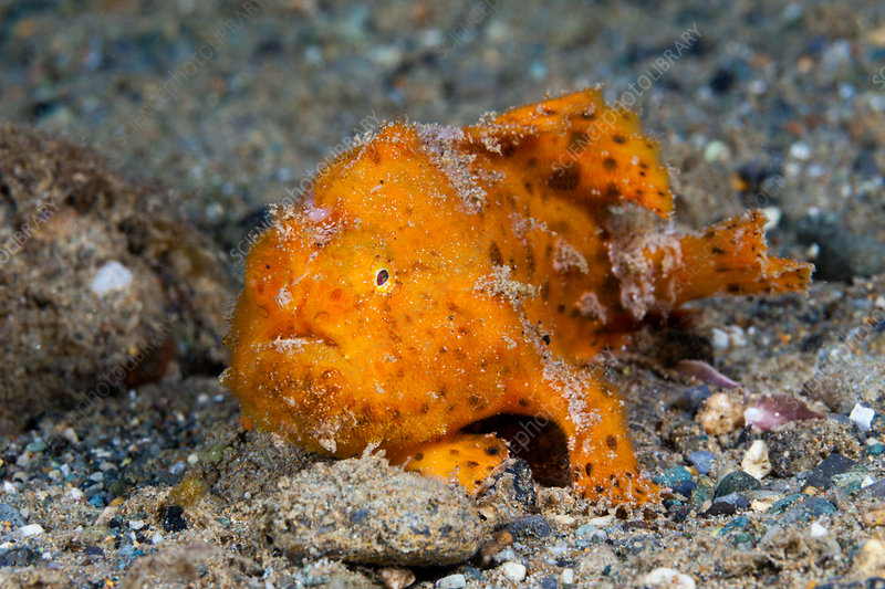 Orange Spotted Frogfish