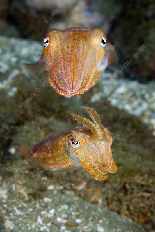 Courtship Display of Cuttlefish