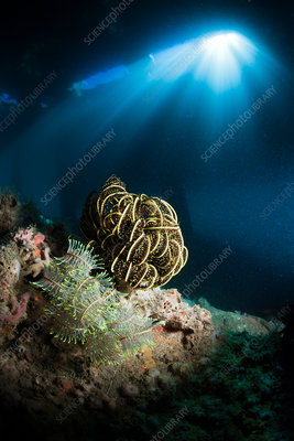 Crinoid under a Jetty