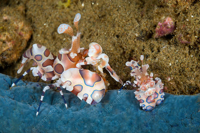 Pair of Harlequin Shrimp