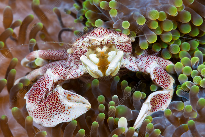Porcelain Crab associated with Sea Anemone