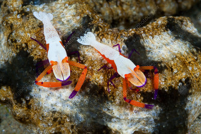 Pair of Emperor Shrimp