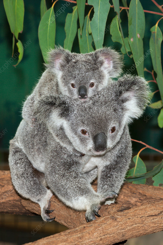 Koala, Mother and Joey