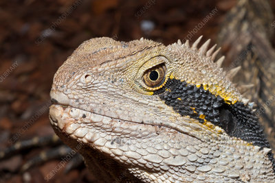 Eastern Australian Water Dragon