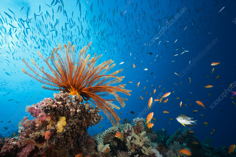 Reef Scene with Crinoid and Fishes