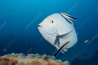Elongate Surgeonfish cleaned by Cleaner Wrasse