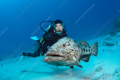 Scuba Diver and Potato Cod