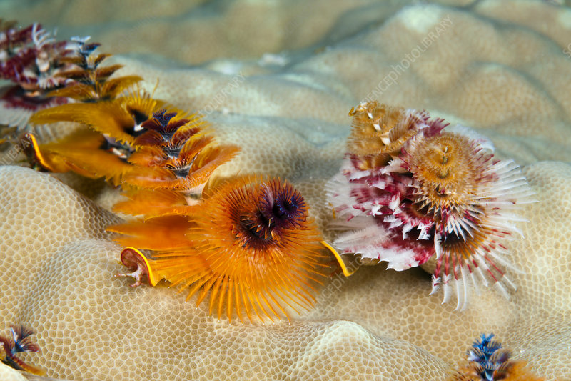 Christmas-Tree Worm