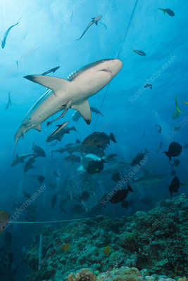 Grey Reef Shark during feeding frenzy