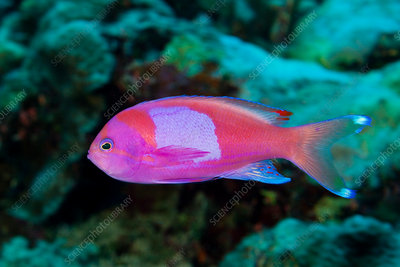 Square-spot Anthias