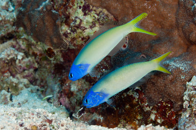 Pair of Blue Tilefish