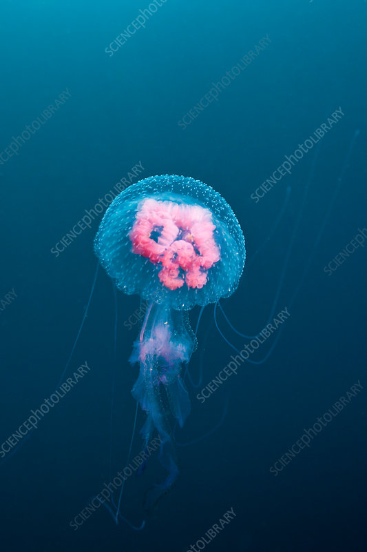 Luminescent Jellyfish
