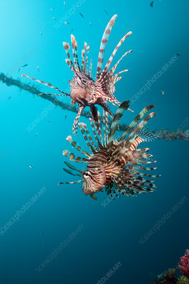 Lionfish at Mbike Wreck