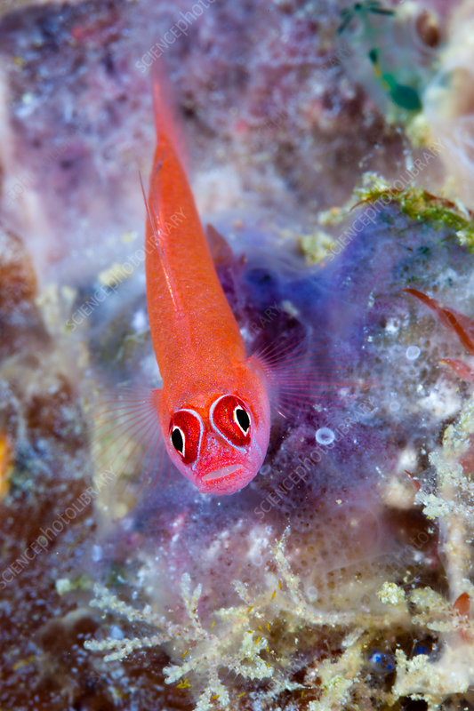 Ring-eyed Goby