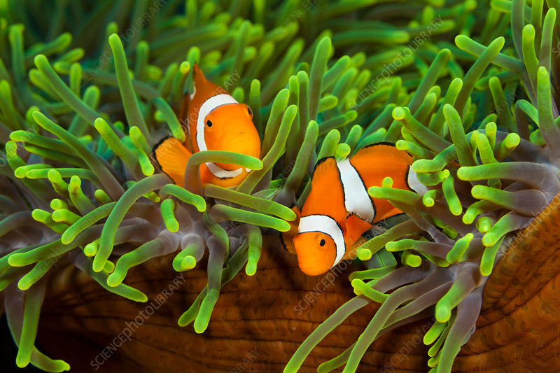 Pair of Clown Anemonefish