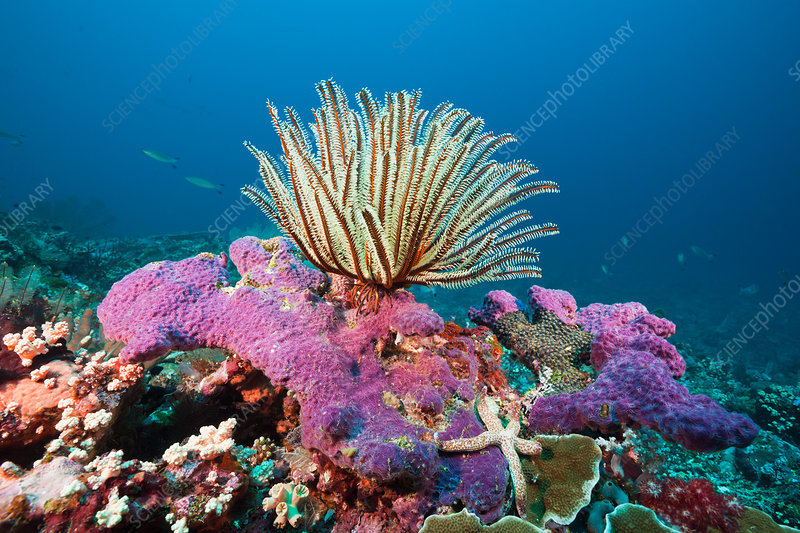 Crinoid in Coral Reef