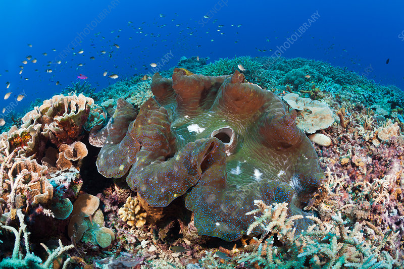 Giant Clam in Coral Reef