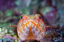 Reef Lizardfish