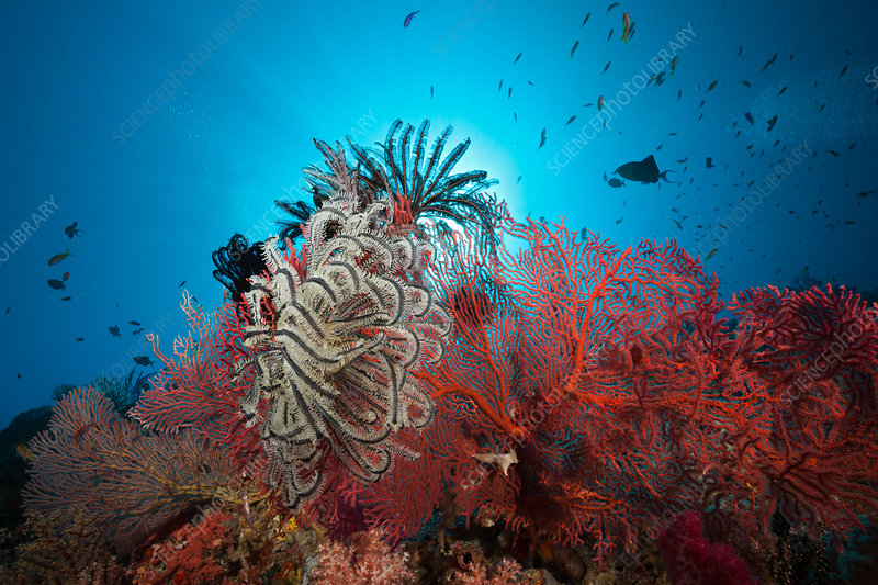 Sea Fan in Coral Reef