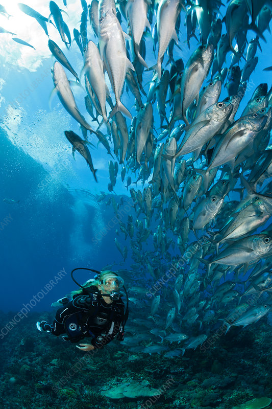 Diver and Shoal of Bigeye Trevally