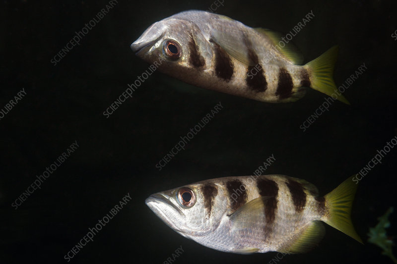 Banded Archerfish reflected at Water Surface