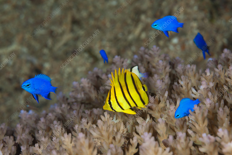 Butterflyfish an Blue Devil Demoiselle