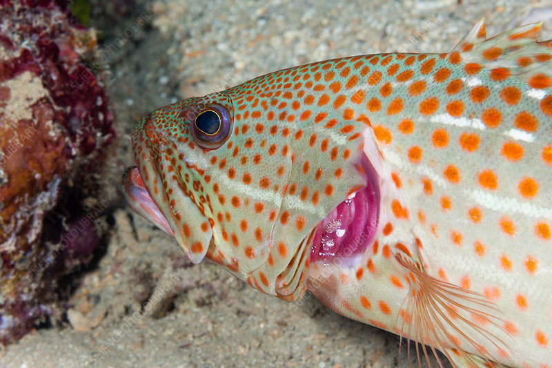 White-lined Grouper cleaned by Shrimp
