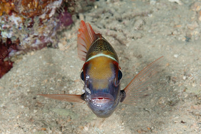 Bigeye Emperor cleaned by Shrimp