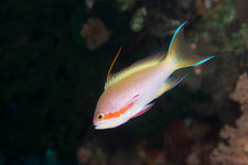Red cheeked anthias
