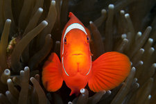 Spinecheek Clownfish
