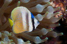Kleins Butterflyfish