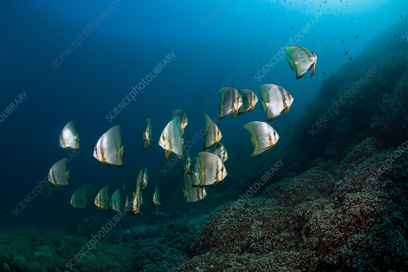 Shoal of Longfin Batfish