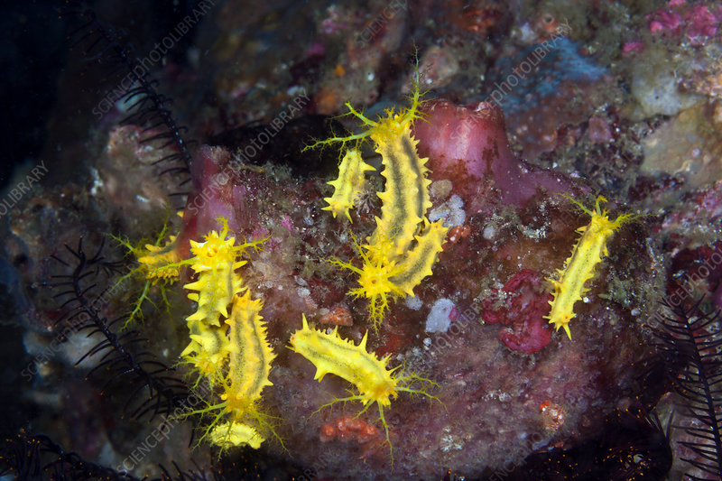 Yellow Sea Cucumber