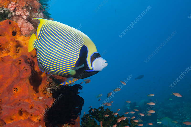 Emperor Angelfish in Coral Reef