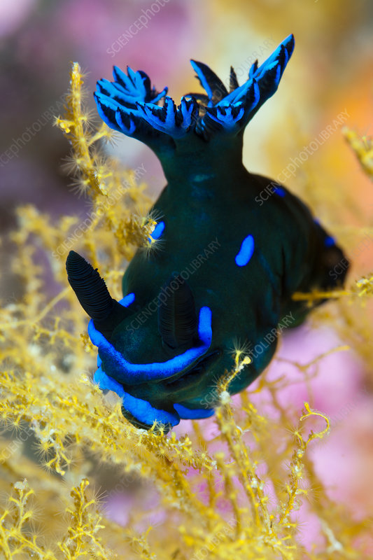 Dorid Nudibranch