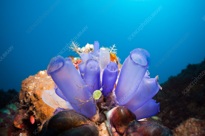 Blue Tunicates in Coral Reef
