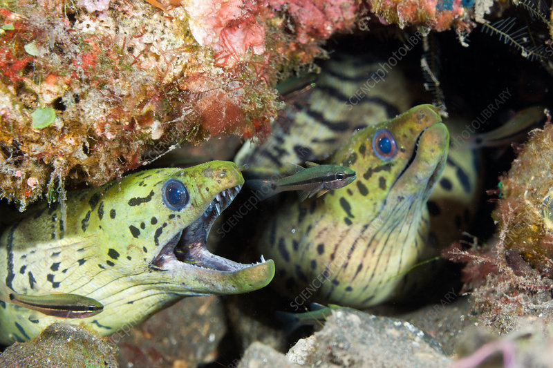 Pair of Fimbriated Moray