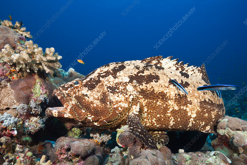 Flowery Grouper beeing cleaned