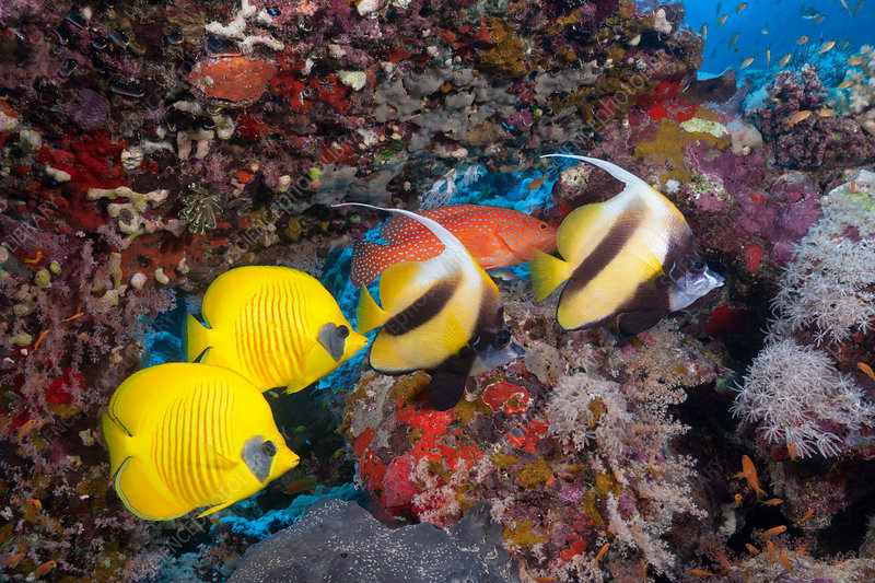 Red Sea Bannerfish and Masked Butterflyfish